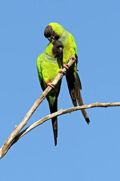 Parakeets Photograph - Black-hooded Parakeets by Tony Camacho/science Photo Library
