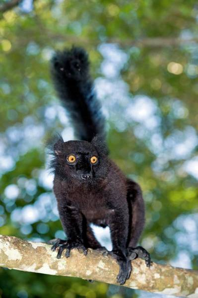 Lemurs Photograph - Black Lemur Male by Tony Camacho/science Photo Library