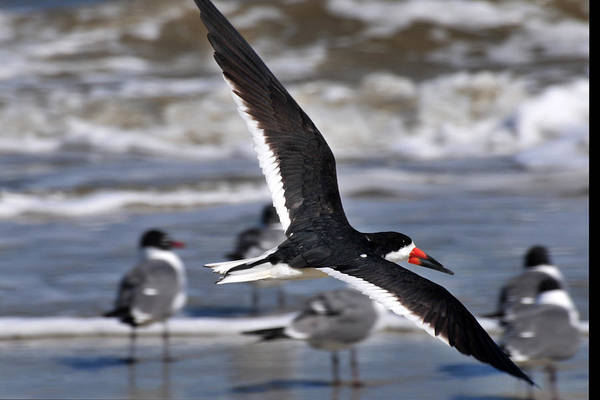 Photograph - Black Skimmer by Peter DeFina
