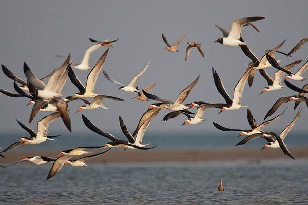 Skimmers Photograph - Black Skimmers (rynchops Niger by Larry Ditto