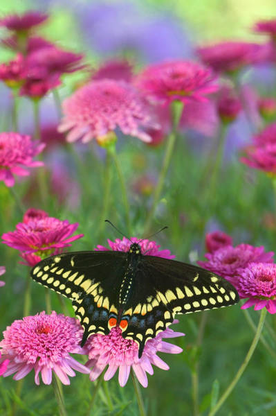 Swallowtail Photograph - Black Swallowtail Butterfly, Papilio by Darrell Gulin