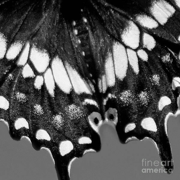 Photograph - Black Swallowtail Butterfly Wing Black White Square by Karen Adams