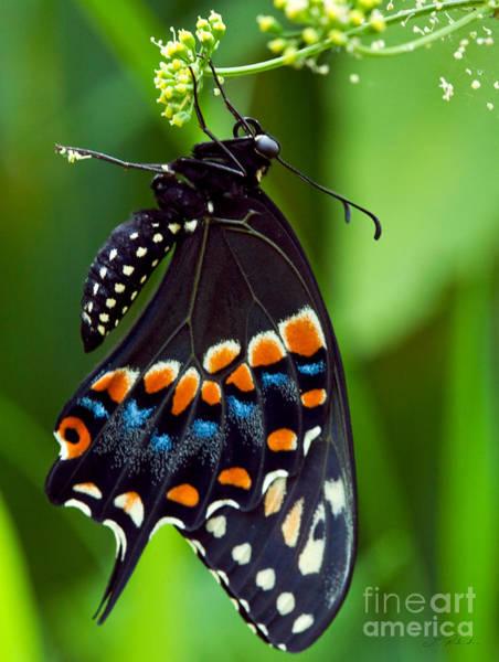 It Professional Photograph - Black Swollowtail  by Iris Richardson