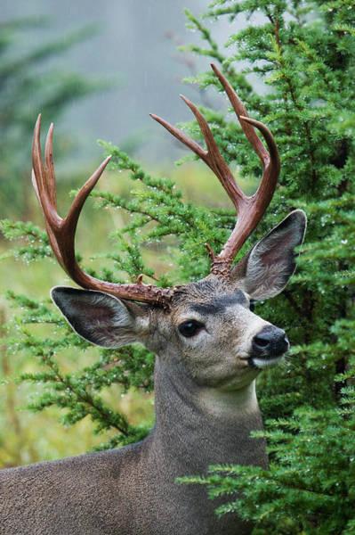 Wall Art - Photograph - Black-tailed Deer Buck, Mount Rainier by Ken Archer