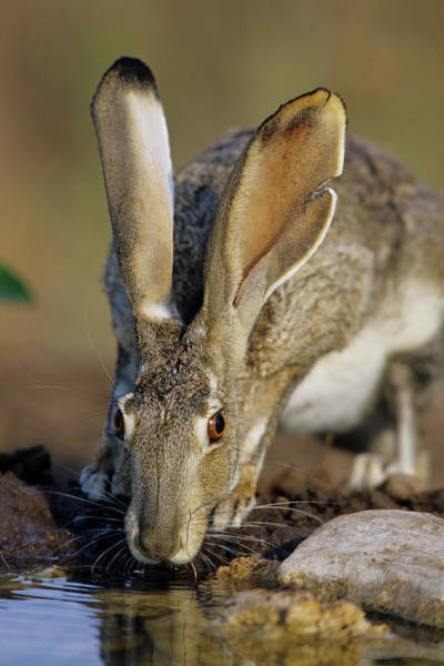 Black Tail Photograph - Black-tailed Jack Rabbit (lepus by Richard and Susan Day