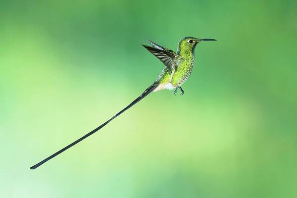 Wall Art - Photograph - Black-tailed Trainbearer Hummingbird by Tony Camacho/science Photo Library