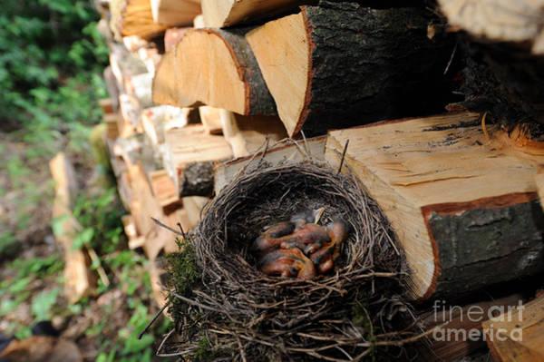 Reiner Photograph - Blackbird Nest With Chicks by Reiner Bernhardt