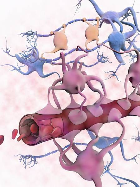 Myelin Wall Art - Photograph - Blood-brain Barrier by Gunilla Elam/science Photo Library