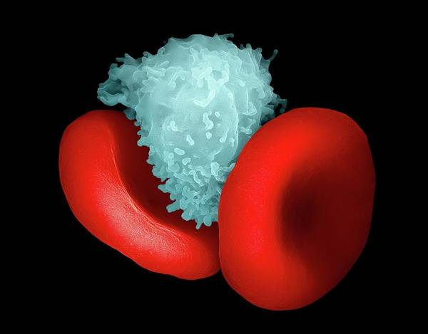 Wall Art - Photograph - Blood Cells by Ami Images