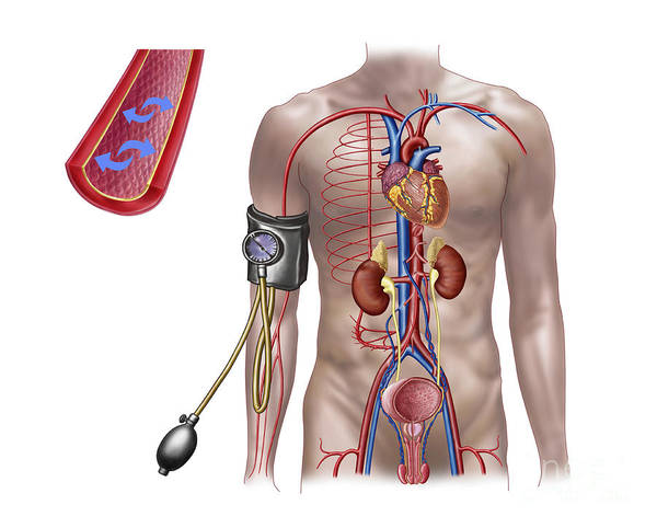 Bladder Digital Art - Blood Pressure And Circulatory System by Stocktrek Images