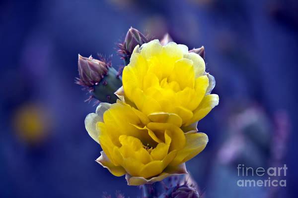 Photograph - Blooming Cactus by Gunter Nezhoda