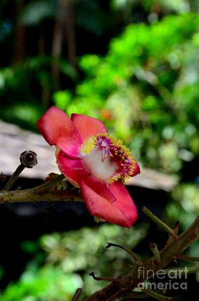 Photograph - Blooming Flower Of Cannonball Tree by Imran Ahmed