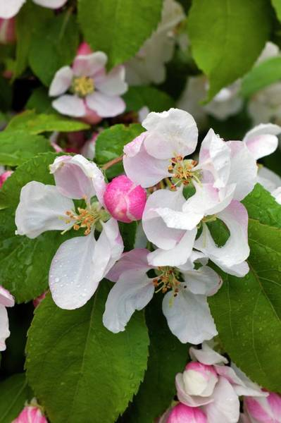 Malus Photograph - Blossom Of Crab Apple Malus Red Jade by Dr Jeremy Burgess