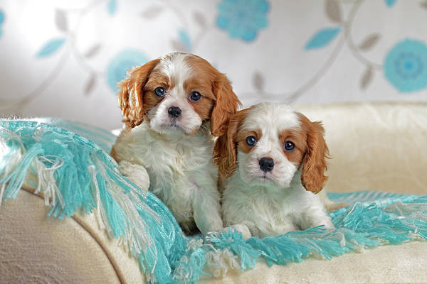 King Charles Spaniel Painting - Blue Blanket Puppies by MGL Meiklejohn Graphics Licensing