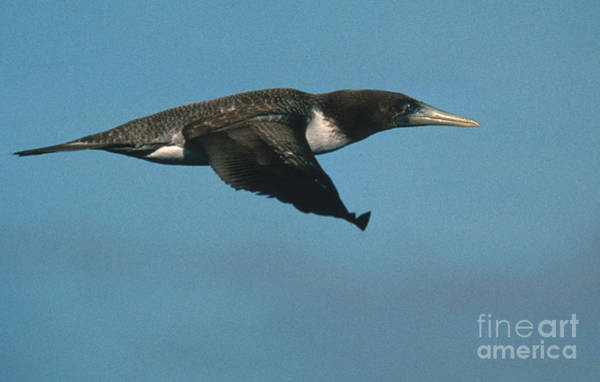 Blue Footed Booby Wall Art - Photograph - Blue-footed Booby by Ron Sanford
