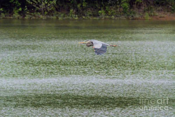 Photograph - Blue Heron In Flight by Jai Johnson