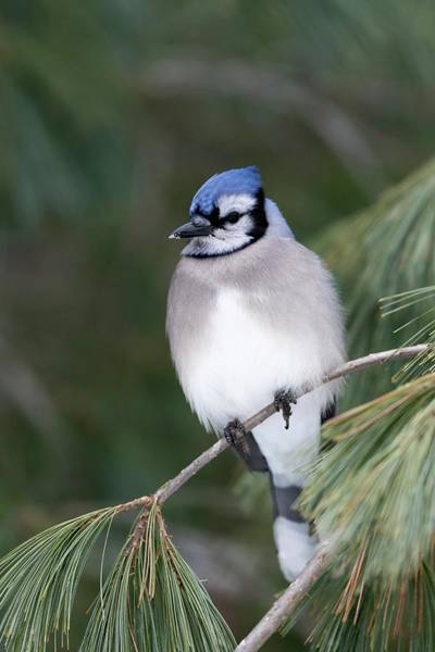 Corvidae Photograph - Blue Jay by Dr P. Marazzi/science Photo Library