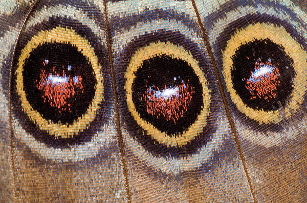 Entomological Photograph - Blue Morpho Butterfly Underwing Abstract by Nigel Downer