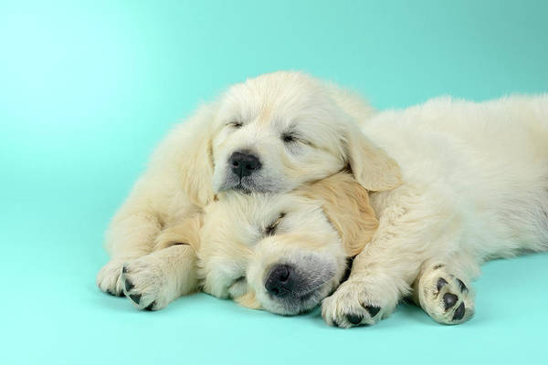 Wall Art - Painting - Blue Sleeping Puppies by MGL Meiklejohn Graphics Licensing
