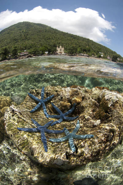 Above And Below Wall Art - Photograph - Blue Starfish by Colin Marshall/FLPA