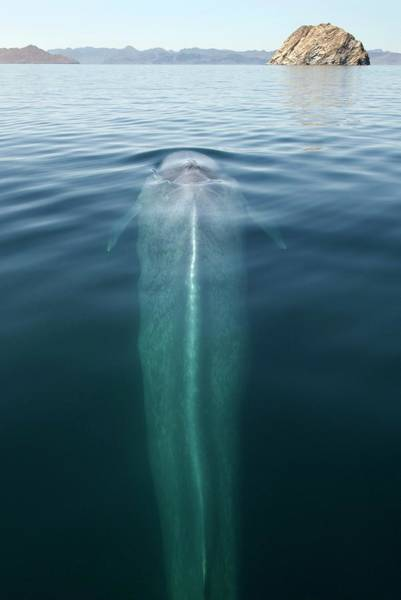 Blowhole Photograph - Blue Whale Surfacing by Christopher Swann/science Photo Library