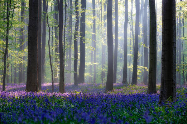 Trunks Photograph - Bluebells by Adrian Popan