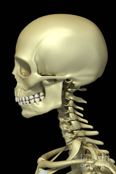 Occipital Bone Photograph - Bones Of The Head And Neck by Science Picture Co
