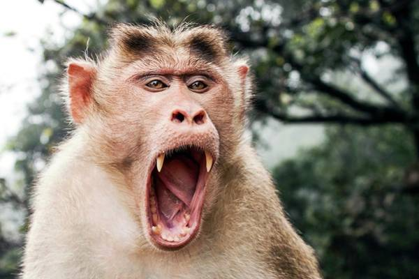 Yawn Photograph - Bonnet Macaque Yawning by Paul Williams
