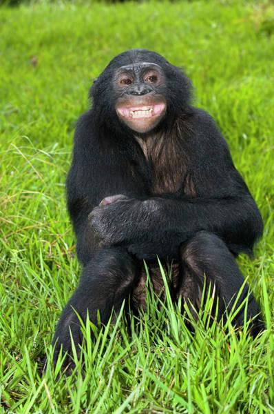 Bonobos Photograph - Bonobo Ape by Tony Camacho/science Photo Library