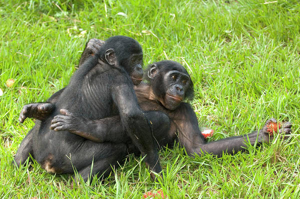 Wall Art - Photograph - Bonobo Apes Mating by Tony Camacho/science Photo Library