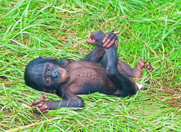 Bonobos Photograph - Bonobo Baby by Millard H. Sharp