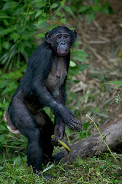 Bonobos Photograph - Bonobo Pan Paniscus Female Orphan by Cyril Ruoso