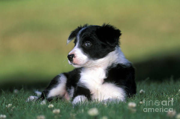 Photograph - Border Collie Puppy by Rolf Kopfle