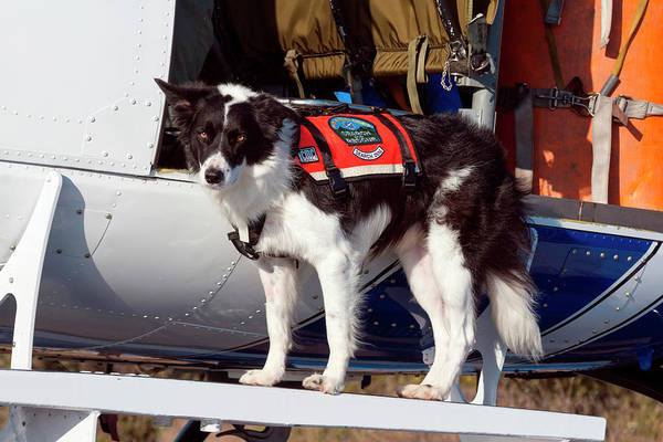 Collie Photograph - Border Collie Search And Rescue Dog (mr by Zandria Muench Beraldo