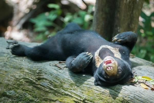 Ursidae Wall Art - Photograph - Bornean Sunbear (captive) by Scubazoo