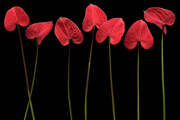 Red Flower Photograph - Botanical Hearts by Floriana Barbu