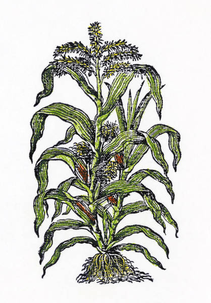 Indian Corn Drawing - Botany Corn, 1597 by Granger