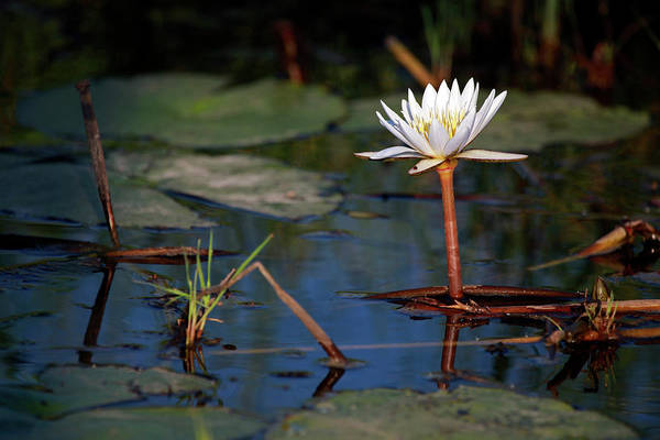 Lilly Pad Photograph - Botswana, Okavango Delta by Kymri Wilt