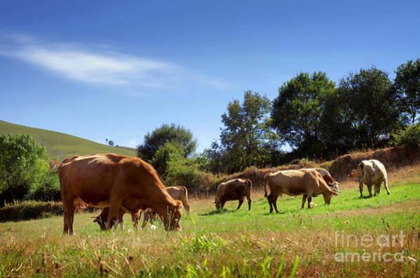 Wall Art - Photograph - Bovine Cattle  by Carlos Caetano