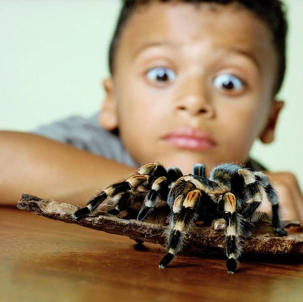 Wall Art - Photograph - Boy With A Tarantula by Richard Bailey/science Photo Library