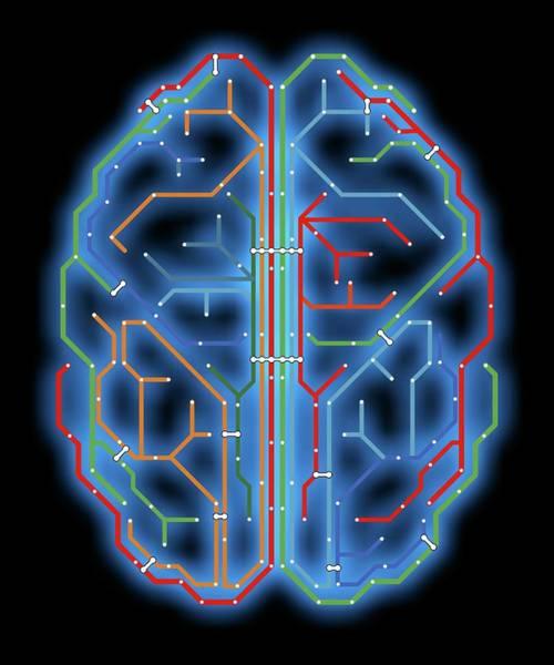 Brain Cell Wall Art - Photograph - Brain by Alfred Pasieka
