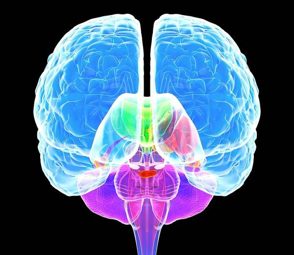 Brain Anatomy Art Print by Roger Harris