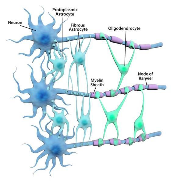 Neuron Wall Art - Photograph - Brain Neurons And Neuroglia by Gunilla Elam/science Photo Library