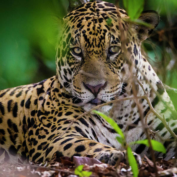 Wall Art - Photograph - Brazil A Male Jaguar Resting by Ralph H. Bendjebar