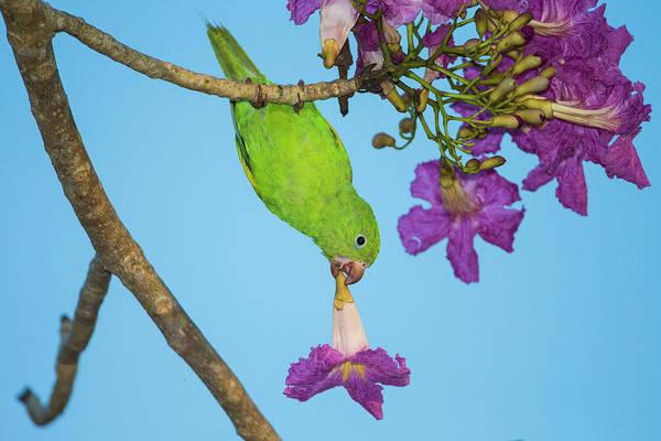 Trumpeter Swan Wall Art - Photograph - Brazil A Yellow-chevroned Parakeet by Ralph H. Bendjebar