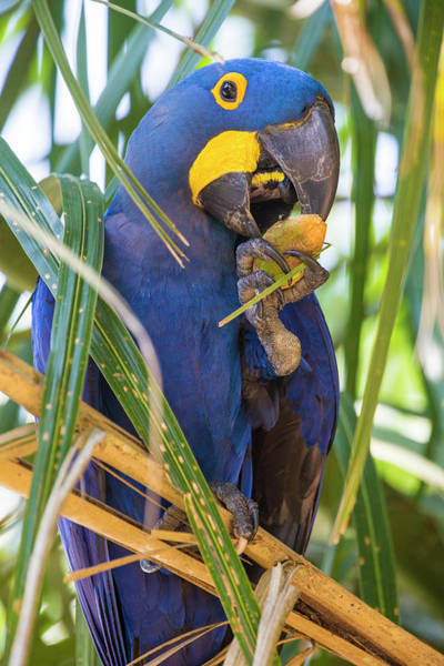 Hyacinth Macaw Photograph - Brazil Hyacinth Macaw In The Pantanal by Ralph H. Bendjebar