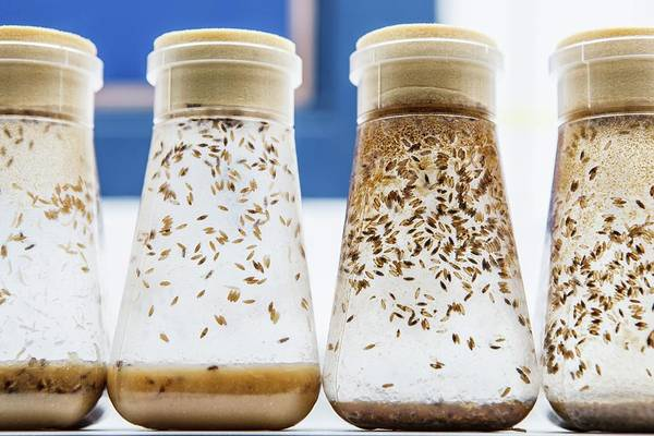 Pupa Photograph - Breeding Fruit Flies For Research by Gustoimages