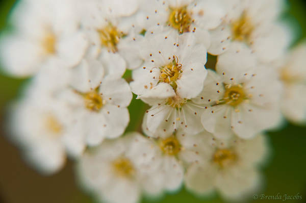 Photograph - Bridal Veil Spirea by Brenda Jacobs
