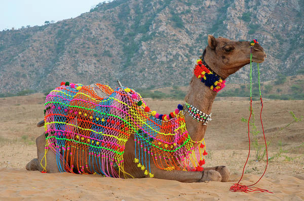 Dromedary Wall Art - Photograph - Brightly Decorated Camel, Pushkar by Inger Hogstrom
