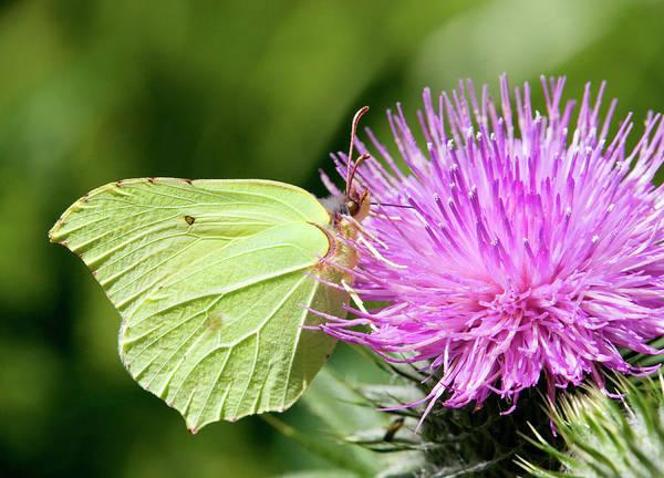 Brimstone Photograph - Brimstone Butterfly by John Devries/science Photo Library